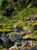 Musgo en rocas en el glaciar del Fox, Nueva Zelandia Foto de archivo