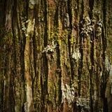 Musgo en textura del pino Fotos de archivo