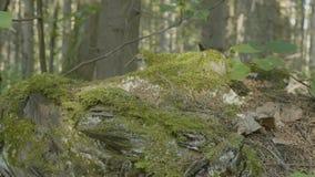 Musgo en tocón en la madera vieja del bosque con el musgo en el bosque del árbol conífero del pino spruce del musgo del verde del Foto de archivo libre de regalías