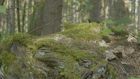 Musgo en tocón en la madera vieja del bosque con el musgo en el bosque del árbol conífero del pino spruce del musgo del verde del Foto de archivo
