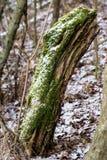Musgo en troncos de árbol Bosque y árboles cubiertos con el musgo Foto de archivo libre de regalías
