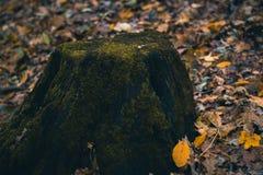 Musgo en un tocón en el bosque del otoño Imagen de archivo libre de regalías