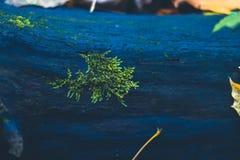 Musgo en un tocón en el bosque del otoño Foto de archivo