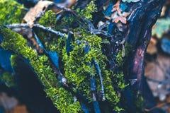 Musgo en un tocón en el bosque del otoño Fotografía de archivo