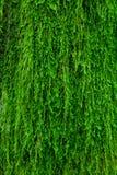 Musgo en una corteza de árbol Foto de archivo libre de regalías