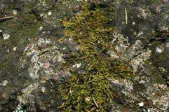 Musgo en una roca Fotografía de archivo libre de regalías