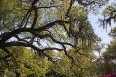 Musgo español en árboles de roble Imagen de archivo