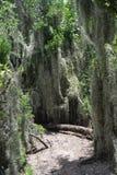 Musgo español que crece libremente entre árboles Imágenes de archivo libres de regalías