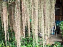 Musgo español que cuelga abajo del árbol Fotografía de archivo libre de regalías