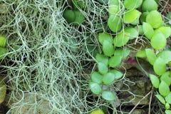 Musgo espanhol e folha verde Fotografia de Stock