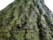 Musgo grueso en árbol áspero Imágenes de archivo libres de regalías