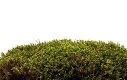 Musgo isolado no branco Foto de Stock