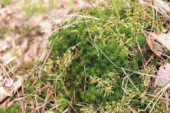 Musgo joven fresco con la hierba y las hojas Imagen de archivo