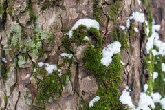 Musgo, líquene e neve na casca de árvore foto de stock