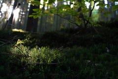 Musgo macro pequeno da floresta Imagem de Stock