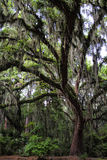 Musgo meridional de Live Oak Tree With Spanish Fotos de archivo libres de regalías