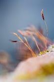 Musgo minúsculo en un ambiente más forrest mágico Foto de archivo libre de regalías