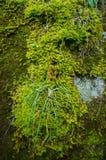 Musgo mojado verde fotografía de archivo libre de regalías