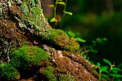 Musgo na árvore Fotos de Stock
