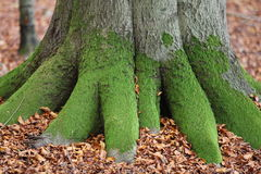Musgo na árvore Fotos de Stock Royalty Free
