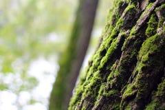 Musgo na árvore Imagem de Stock Royalty Free