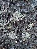 Musgo na árvore Textura da casca fotografia de stock royalty free