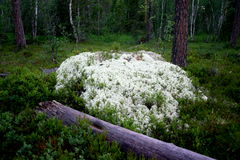 Musgo na floresta Foto de Stock