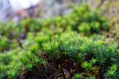 Musgo na floresta Fotografia de Stock