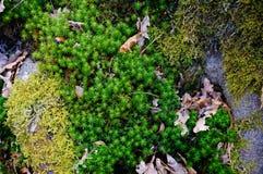 Musgo na floresta Imagens de Stock