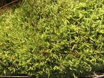Musgo na floresta Imagem de Stock