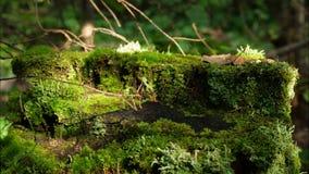 Musgo no coto na madeira velha da floresta com musgo na floresta da árvore conífera de pinho spruce do musgo do verde do coto da  fotos de stock