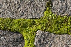 Musgo que crece en piedras del adoquín Imágenes de archivo libres de regalías