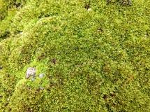 Musgo que crece en rocas Imagen de archivo
