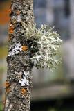 MUSGO que cresce na árvore Foto de Stock Royalty Free
