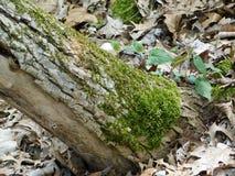 Musgo que cresce no tronco de árvore imagem de stock royalty free