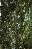 Musgo (reno septentrional) en Forest Background Fotos de archivo