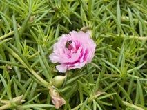 Musgo-rosa o flores del Purslane Fotografía de archivo