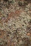 Musgo seco en el bosque Foto de archivo libre de regalías