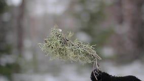 Musgo seco na mão na floresta do inverno video estoque