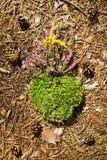 Musgo seco verde com as flores roxas e amarelas selvagens em uma maca da floresta das agulhas e dos cones Fotografia de Stock
