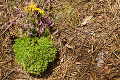 Musgo seco verde com as flores roxas e amarelas selvagens em uma maca da floresta das agulhas e dos cones Imagem de Stock