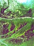 Musgo sobre árvores Fotografia de Stock Royalty Free