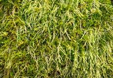 Musgo verde Foto de archivo