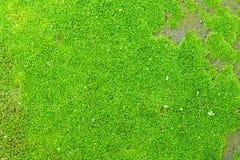Musgo verde Fotos de Stock Royalty Free