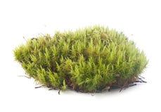 Musgo verde Foto de Stock