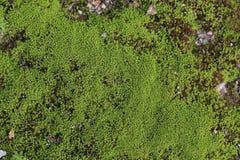 Musgo verde Foto de Stock Royalty Free