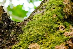 Musgo verde claro en árbol Imagenes de archivo