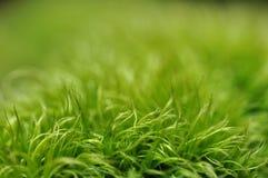 Musgo verde com fundo do verde do borrão Fotos de Stock Royalty Free