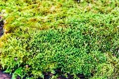 Musgo verde crecido encima de la cubierta las piedras ásperas en la demostración más forrest con la visión macra Rocas por comple Imagenes de archivo