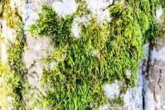 Musgo verde crecido encima de la cubierta las piedras ásperas en la demostración más forrest con la visión macra Rocas por comple Fotografía de archivo